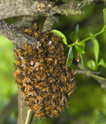 What is the difference between a Swarm and a Colony of Bees?