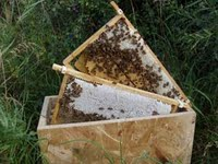 5 frame Buckfast Nuclei (live starter honeybee colony)