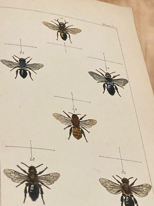 British Bees, British 1866- full 16 colour bee plates